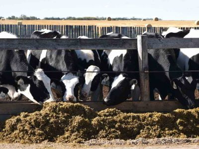 Dairy Cattle Outside