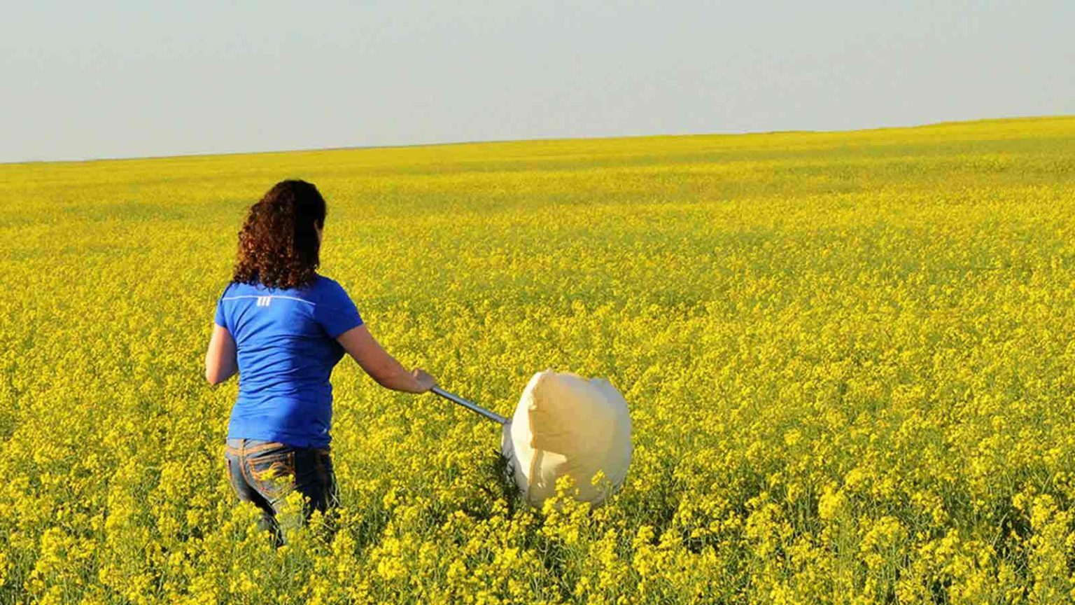 checking canola for insects