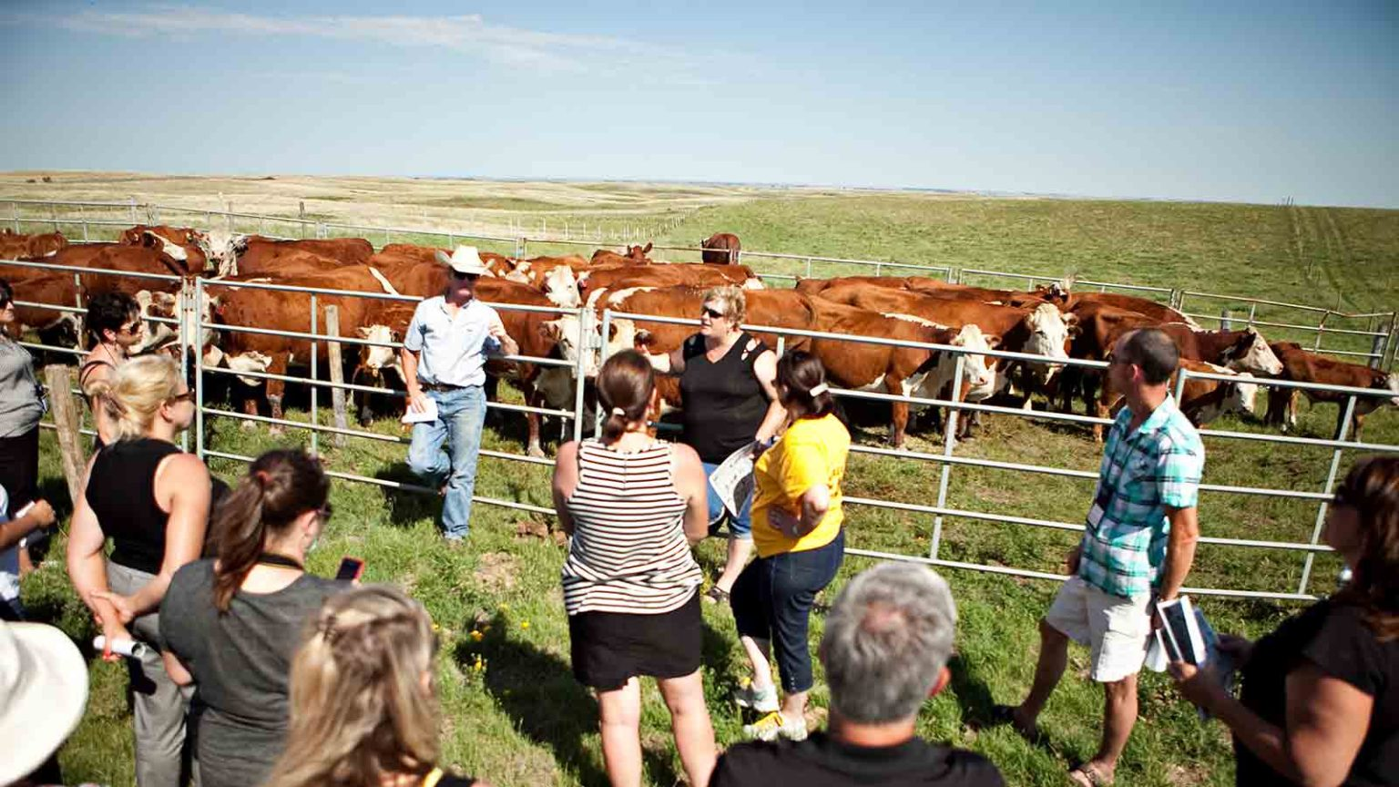 learning about cattle